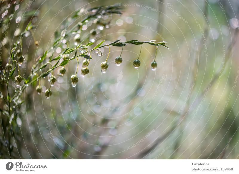 It's raining, thick raindrops hang from the flaxseed capsules Gray green spring Close-up Environment Wet bleed Nature Bad weather Rain plugs Drops of water