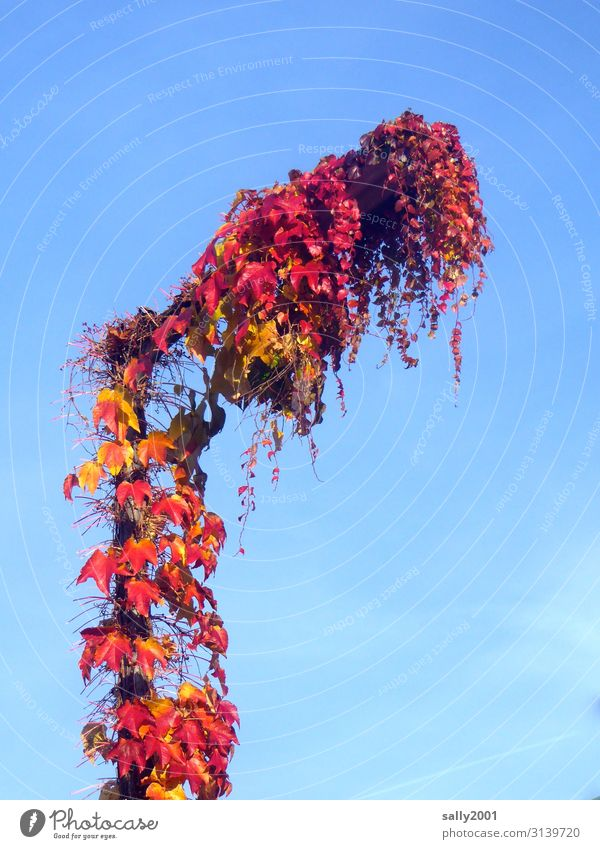 autumnal Cloudless sky Autumn Beautiful weather Plant Virginia Creeper Growth Red Nature Transience Street lighting Overgrown Autumn leaves Tendril Envelop