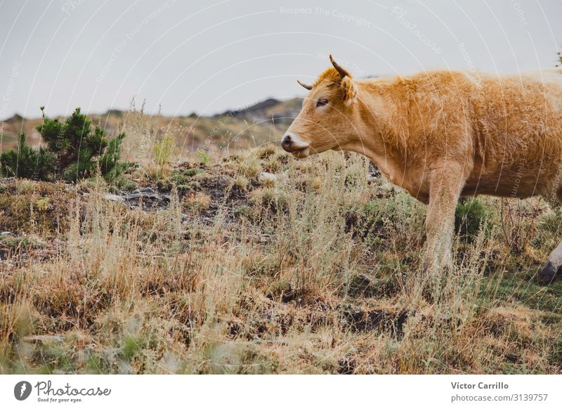 A brown Cow Pasting Free in the Mountains Winter Nature Animal Fog Grass Natural Black White Sierra Nevada background Bull cold country Granada Open