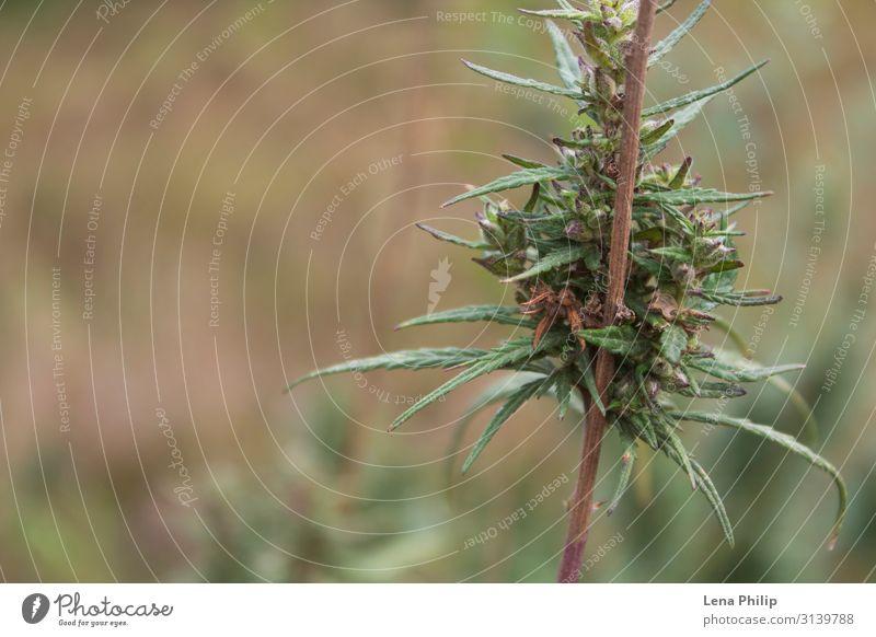 Cannabis. Hemp background. Hemp leaves. Alternative medicine Summer Garden Nature Plant Natural Green hemp marijuana sorcerer hallucinations drugs folk medicine