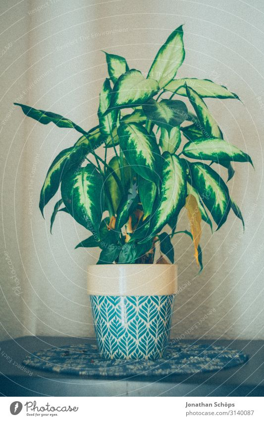 Houseplant in pot on the shelf at home Healthy Green Close-up Colour photo Plant Leaf Agricultural crop Natural Pot plant Foliage plant grow windowsill Window
