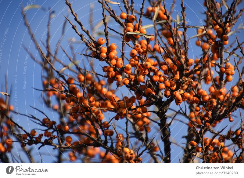 Sea buckthorn bush with orange berries in front of a blue sky Fruit Sallow thorn Nutrition Nature Plant Sky Cloudless sky Autumn Bushes Wild plant Berries