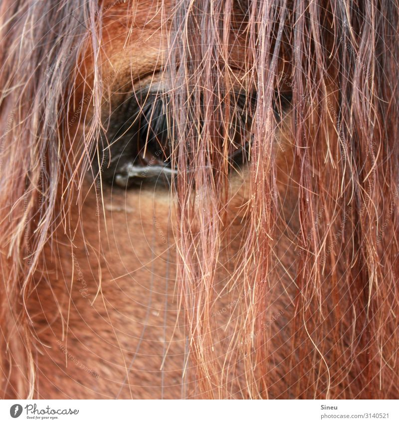 The eye takes the picture, not the camera. Equestrian sports Red-haired Long-haired Animal Farm animal Horse Observe Friendliness Beautiful Cuddly Curiosity