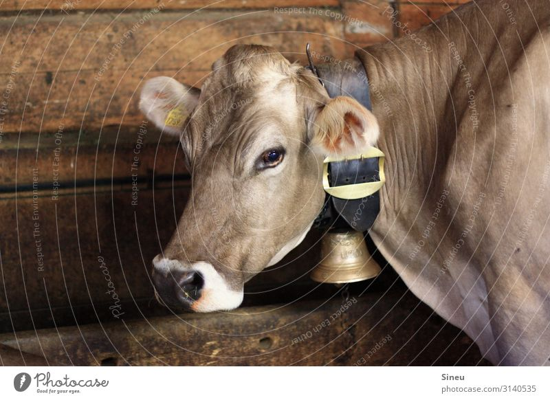 cow Cowshed Animal Farm animal Animal face Cow bell Wood Metal Leather Observe Large Beautiful Muscular Curiosity Feminine Brown Gold White Contentment