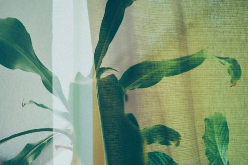 Multiple exposure from indoor plant and curtain Healthy Green Close-up Colour photo Plant Leaf Agricultural crop Natural Pot plant Foliage plant grow windowsill