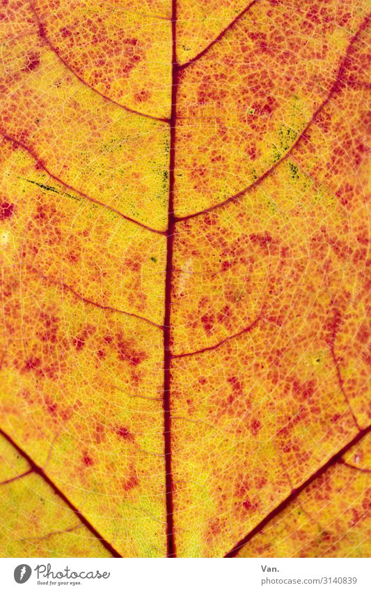 sunspots Nature Plant Autumn Leaf Rachis Yellow Orange Red Colour photo Multicoloured Detail Macro (Extreme close-up) Deserted Day Contrast