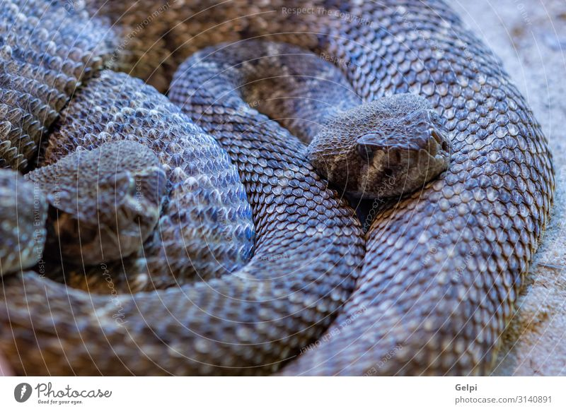 Dangerous snake with brown colors Skin Mouth Environment Animal Forest Virgin forest Snake Wild Brown head Spain wildlife animals Reptiles fauna amazon Tropical