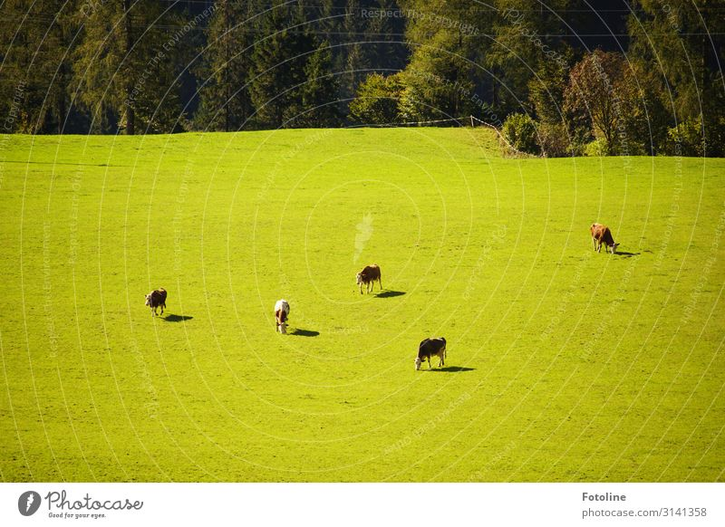 Viewed from above, very small. Environment Nature Landscape Plant Animal Beautiful weather Tree Grass Meadow Field Forest Farm animal Cow Group of animals Herd