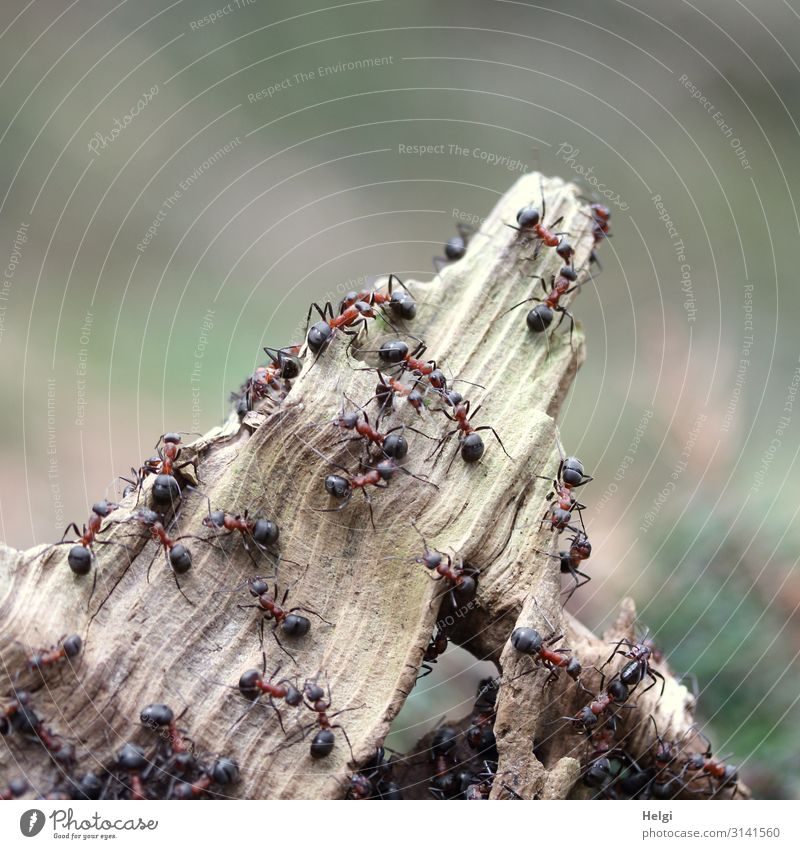 many forest ants are climbing on a tree root in the forest Environment Nature Plant Animal Spring Beautiful weather Branch Forest Wild animal Waldameise Ant
