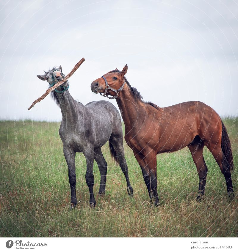Come on, we're going for a dog. Animal Farm animal Horse 2 Playing Pasture Stick Funny play stick Colour photo Subdued colour Exterior shot