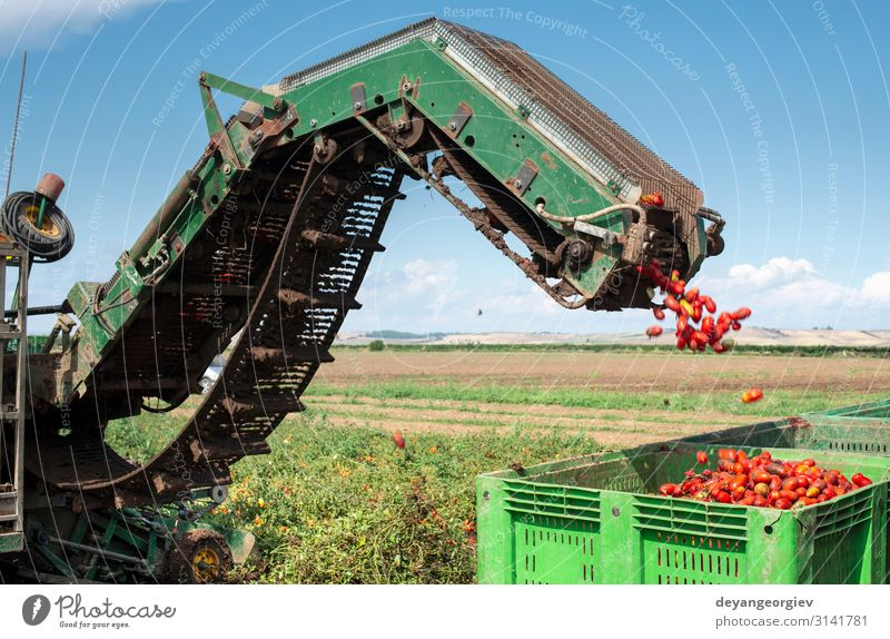 Machine with transport line for picking tomatoes on the field. Vegetable Summer Garden Industry Machinery Technology Nature Plant Tractor Trailer Growth Fresh