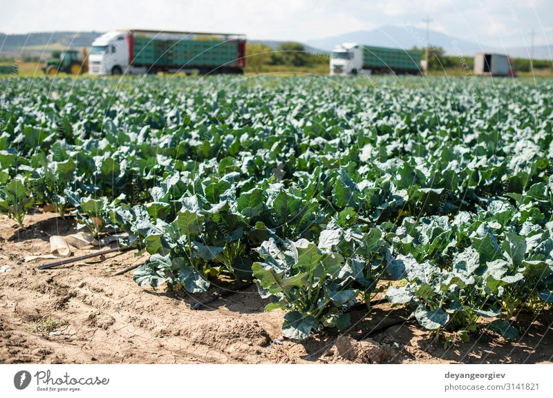 Broccoli farm and big export trucks on background. Work and employment Man Adults Landscape Pack Growth Harvest Large-scale holdings shipping Industrial