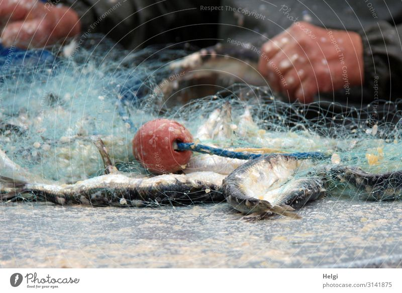 Fishing net with freshly caught herrings lies on a table Food Herring Work and employment Fishery Workplace Hand 1 Human being Plastic Lie Authentic Uniqueness