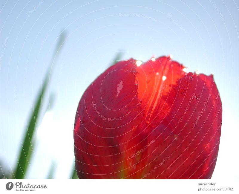 tulip Tulip Close-up