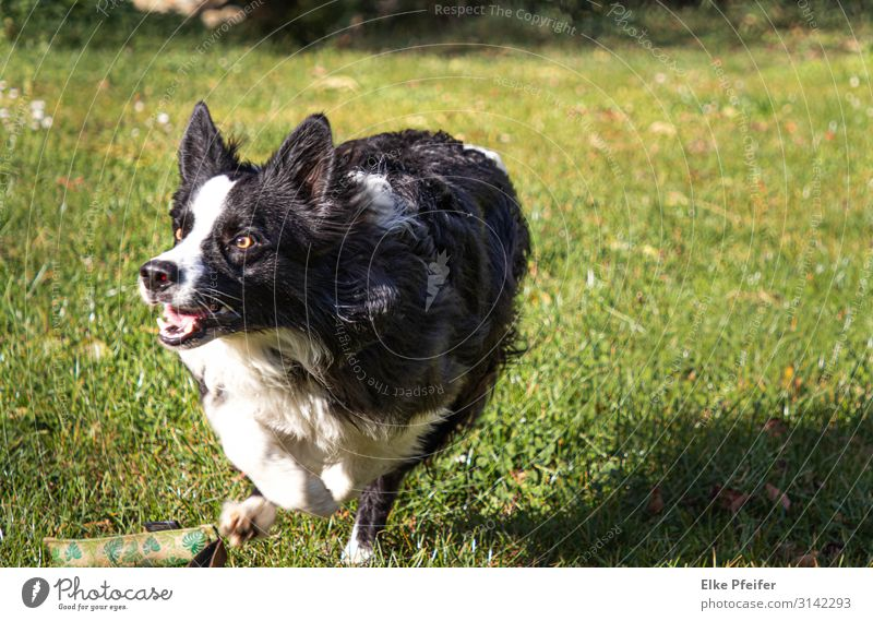 In Bewegung Dog Animal Emotions Playing Moody To enjoy Fitness Speed Athletic Pet Running Mobility Hunting