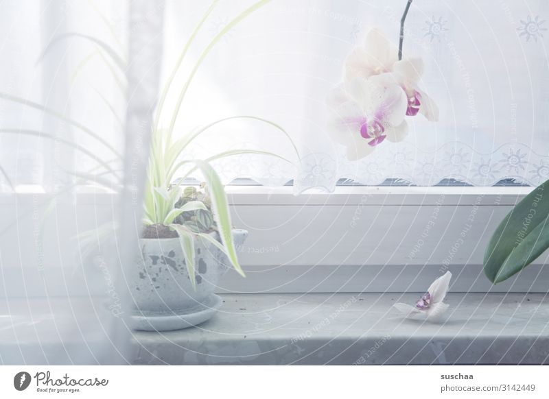 orchid at the window place Window Window board Drape Curtain Bright Illuminate Plant Pot plant Leaf Flower Blossom Orchid white orchid Vista no transparency