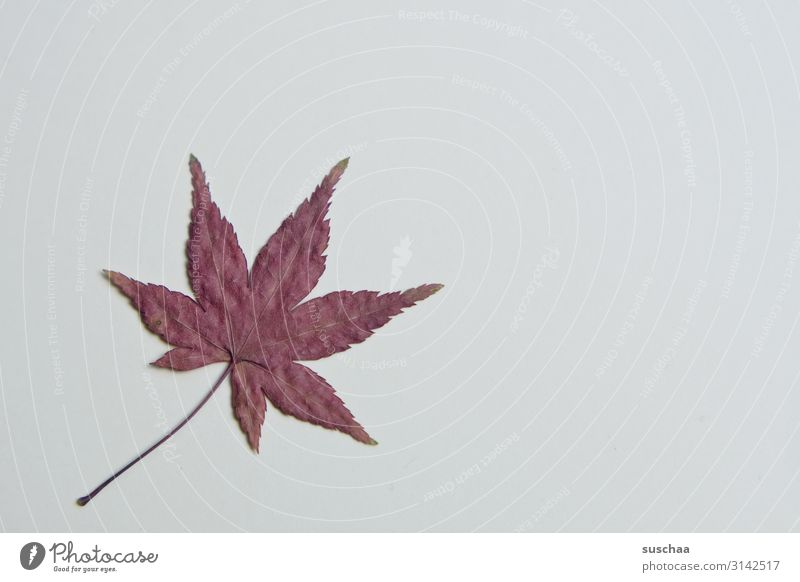 leaf Leaf Tree Nature Autumn serrated Star (Symbol) Point Red Autumnal colours Dried Flat Handicraft Structures and shapes Stalk Rachis Fragile Sensitive