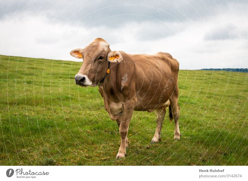 Limousin cow in a hilly landscape Environment Nature Landscape Sky Meadow Animal Cow 1 Brown Gray Green limousin Grass Field Dairy cow Colour photo