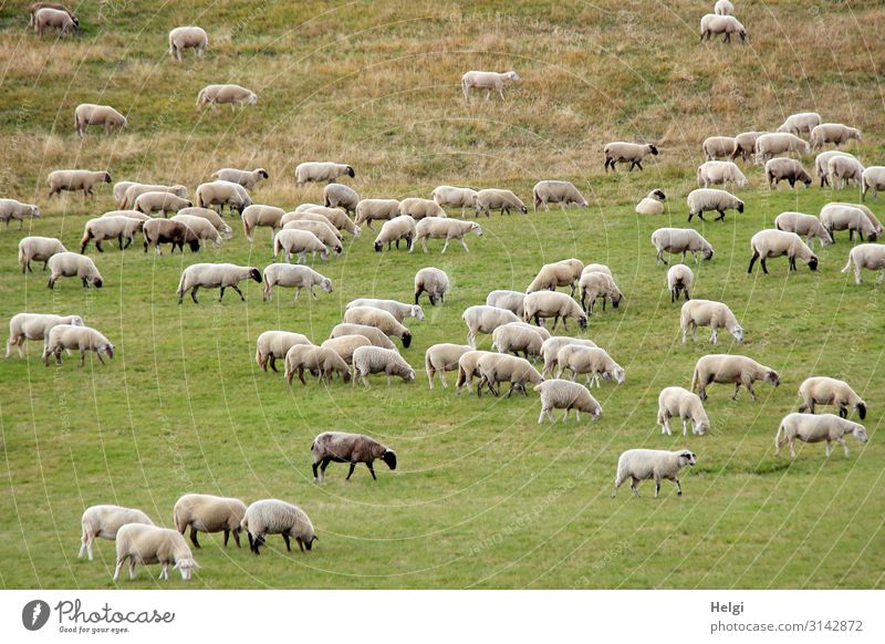 Flock of sheep foraging in a large meadow Environment Nature Landscape Plant Animal Grass Meadow Farm animal Sheep To feed Stand Esthetic Authentic Together
