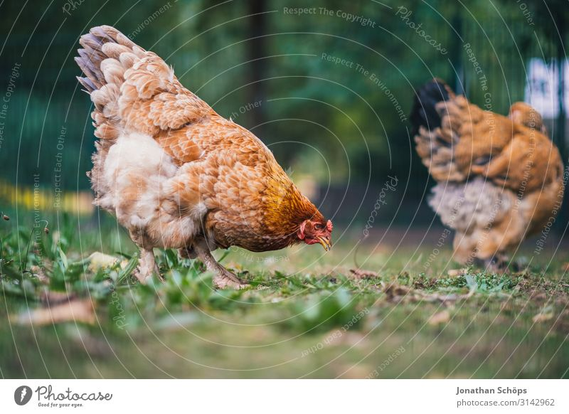 Chicken pecking for food on the floor Exterior shot Season outdoor Autumn Nature chicken Animal Animal protection Poultry Free-living Free-range rearing