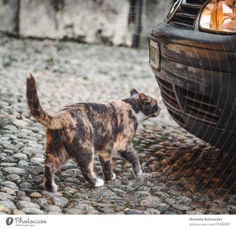 streetcat Animal Pet Cat 1 Car Brown Yellow Black Silver Colour photo Exterior shot Evening