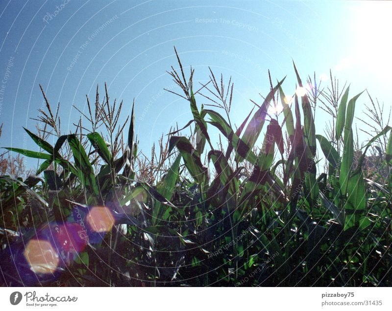 september Cornfield Field Summer September Maize field Sun Landscape Americas sunshine