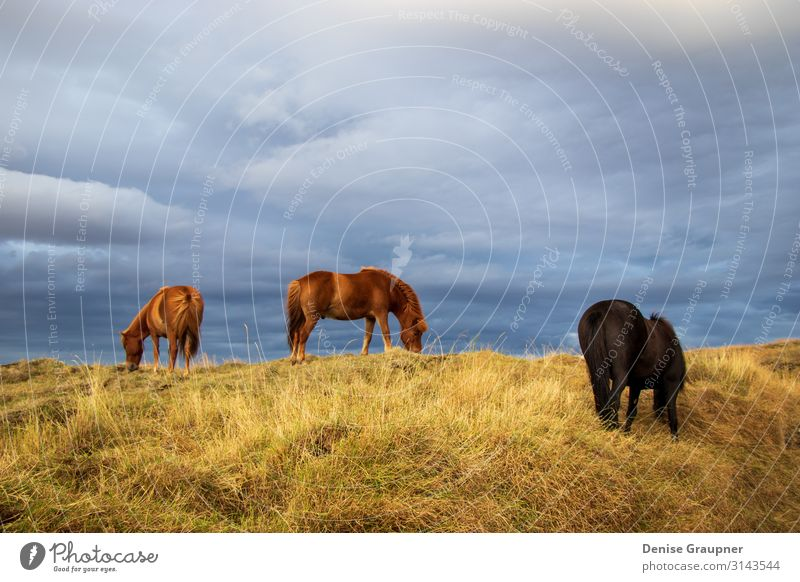 Horses in Iceland on a meadow Summer Hiking Nature Looking Wild rural brown grass field wildlife cloud green mammal north animal Icelandic beautiful Bangs