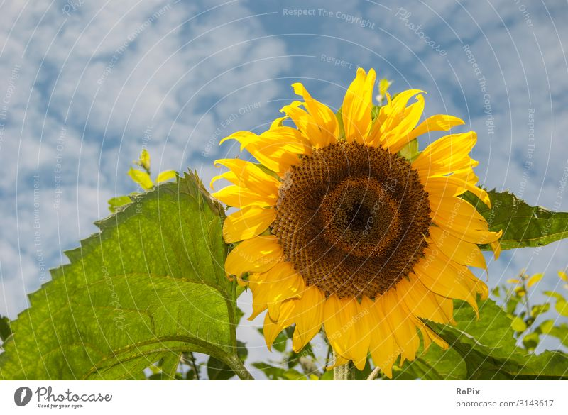 Sunflower Style Design Healthy Fitness Wellness Life Relaxation Meditation Leisure and hobbies Vacation & Travel Freedom Garden Environment Nature Landscape Sky