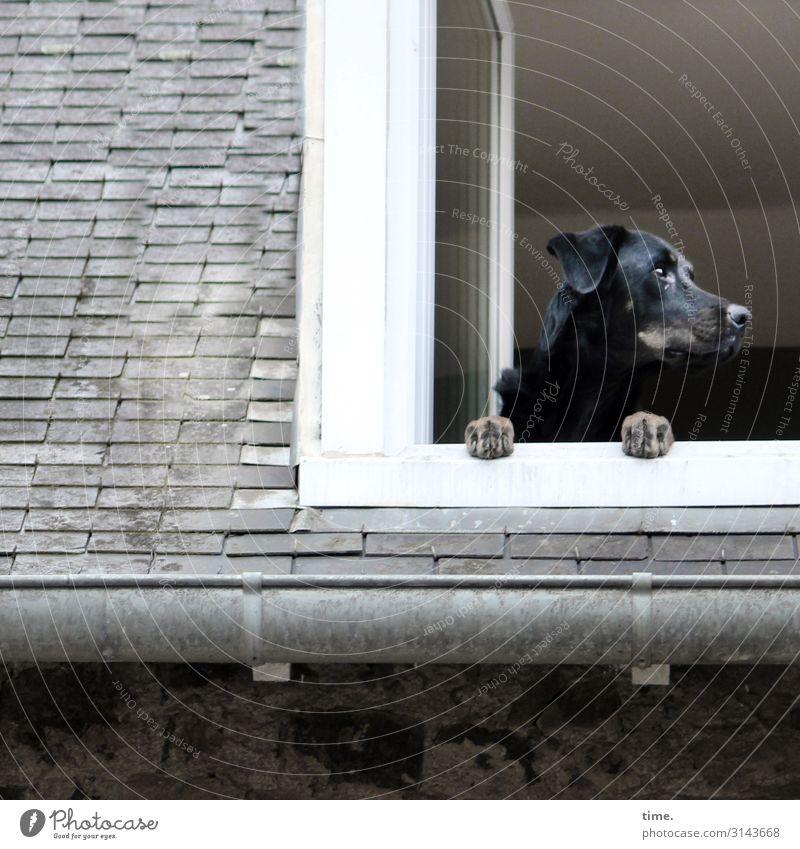 house arrest House (Residential Structure) Roof Eaves Skylight Animal Pet Dog 1 Observe To hold on Looking Wait Self-confident Willpower Passion Watchfulness