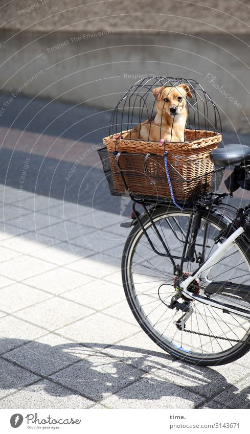 fail-safe barrier Cycling Street Lanes & trails Bicycle Basket Luggage rack Captured Looking Looking into the camera Animal Pet Dog 1 Observe Sit Safety