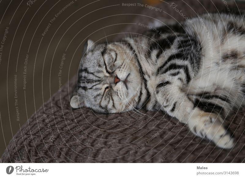 British Shorthair Animal portrait Beautiful Purebred Domestic cat English Short-haired Cat Cat eyes Pet Gray Friendliness Mammal Honey Sit Lie Sleep