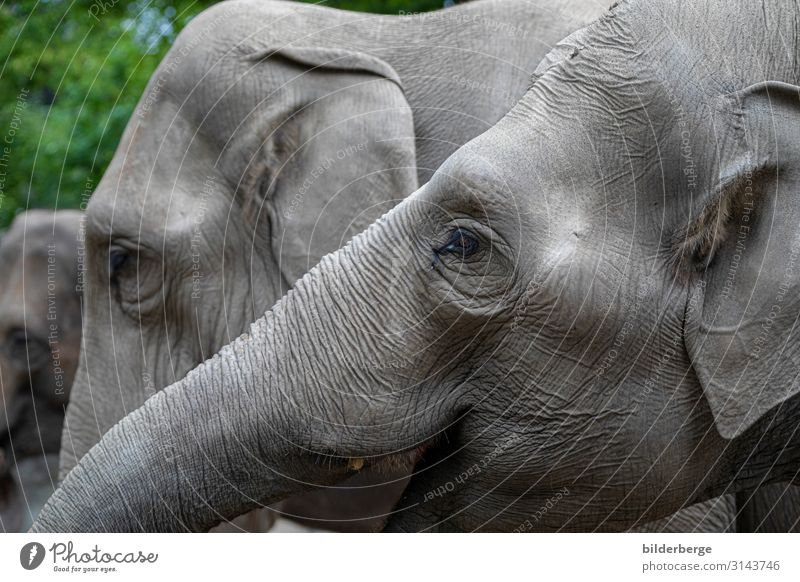 elephant heads Family & Relations Zoo Animal Gray Elephant colourless Herbivore Mammal unsaturated Hagenbeck zoo Hamburg Eyes Ear Trunk Colour photo Blur