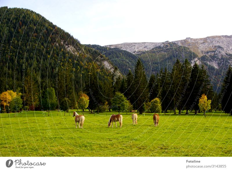 Hach vacation!!! Environment Nature Landscape Plant Animal Sky Autumn Tree Meadow Alps Mountain Farm animal Horse 4 Bright Natural Brown Gray Green Austria