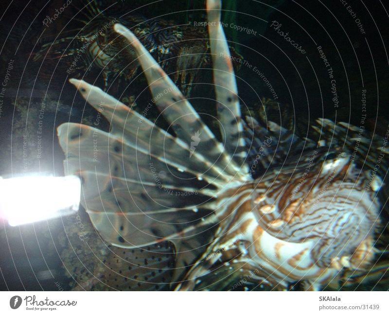 Water Ocean Fish Zoo Aquarium Sea water Devil firefish