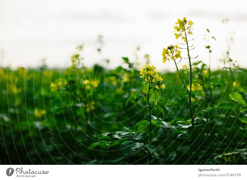 Rapeseed in the light Agriculture Forestry Environment Nature Landscape Plant Autumn Flower Leaf Blossom Agricultural crop Canola Canola field