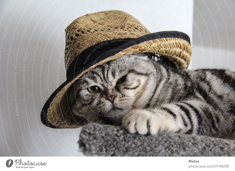 Cat in hat Domestic cat Hat Animal portrait Beautiful Purebred English Short-haired Cat eyes Pet Gray Friendliness Mammal Honey Sit Lie Funny