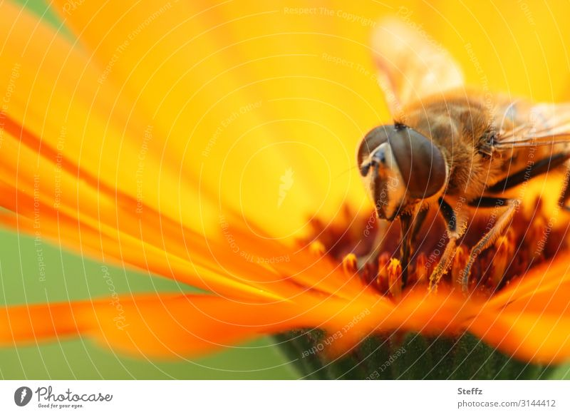 summer feeling Environment Nature Summer Beautiful weather Plant Flower Blossom Blossom leave Summerflower Marigold Garden Fly Hover fly Insect Compound eye