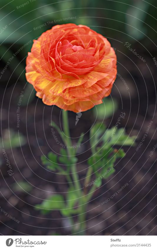 ranunculus Nature Plant Spring Flower Blossom Buttercup Garden plants garden flower Medicinal plant Blossoming Natural Beautiful Green Orange May Warm colour