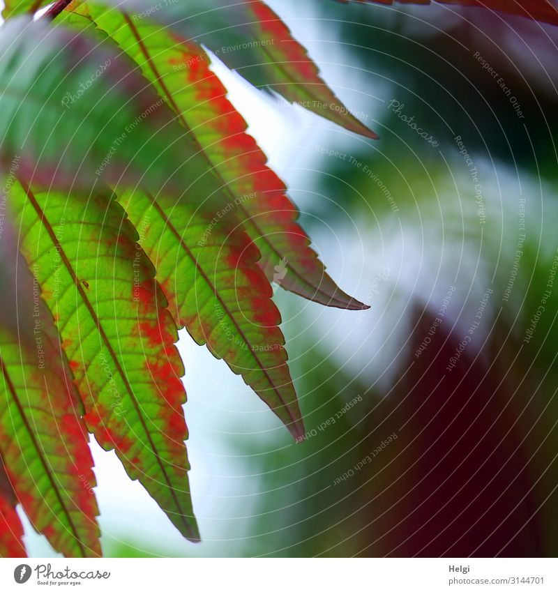 Close up of green-red leaves of a vinegar tree in autumn Environment Nature Plant Autumn Leaf Staghorn sumac Rachis Autumnal colours Park Hang Esthetic