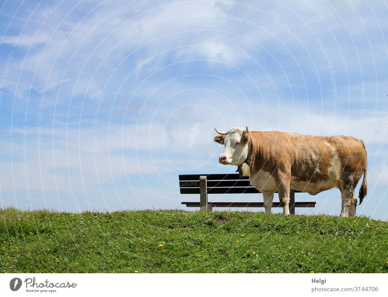 Cattle on the alpine pasture stands in good weather on a meadow in front of a wooden bench Environment Nature Plant Animal Sky Spring Beautiful weather Grass