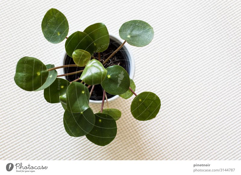 Pilea Peperomioides Flat (apartment) Decoration Nature Plant Foliage plant Pot plant Growth Cute Round Town Green White Living or residing Background picture