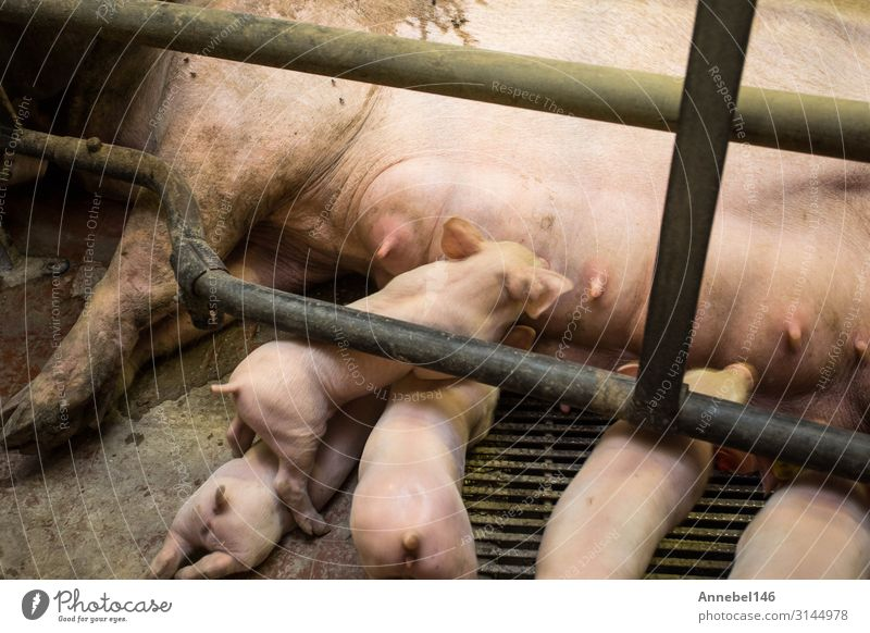 Mother pig locked in a cage with her piglets on a breeding farm Meat Factory Baby Adults Group Nature Animal Farm animal Feeding Sleep Growth Dirty Cute