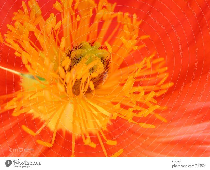Flower Blossom Poppy