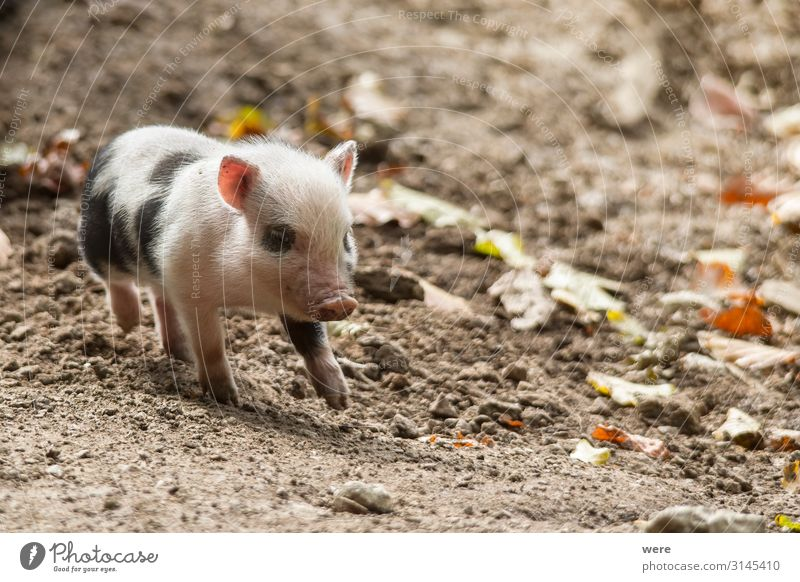 Hanging bellied pig babies play in the mud Meat Sausage Nutrition Nature Animal Pet Farm animal Swine Pot-bellied pig 1 Baby animal Movement Walking Running
