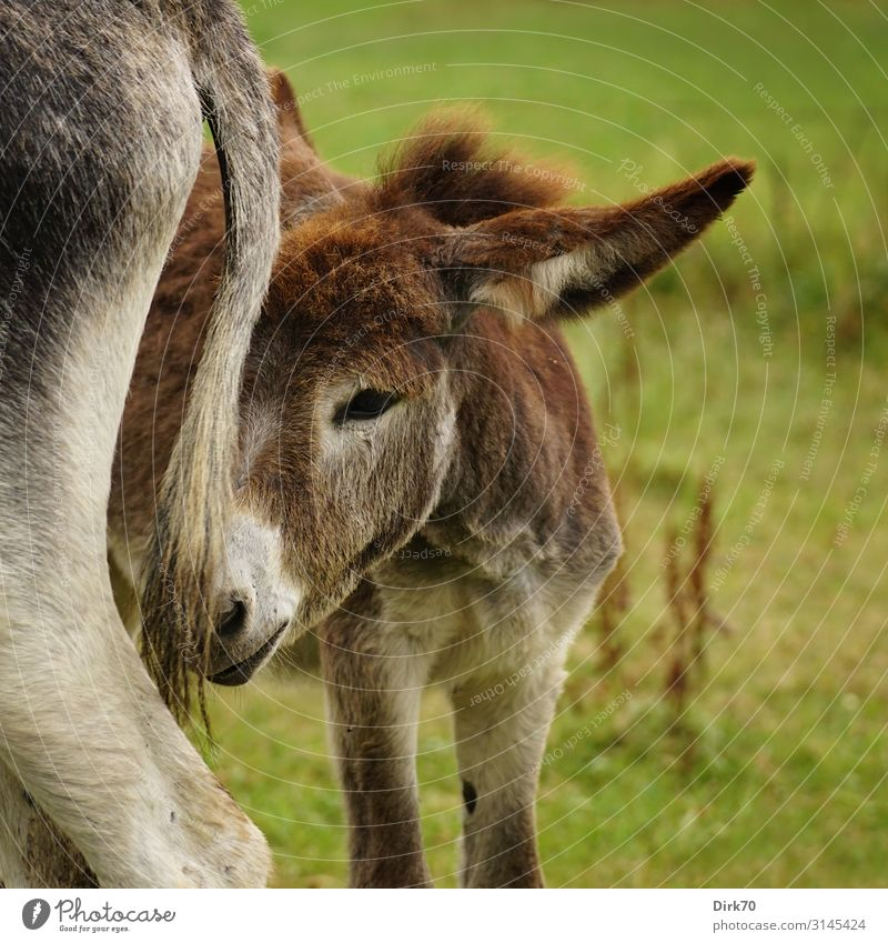 donkey foal ... Environment Nature Summer Grass Meadow Pasture bad luck Cantabria Spain Northern Spain Animal Farm animal Donkey Donkey foal jenny 2 Baby animal