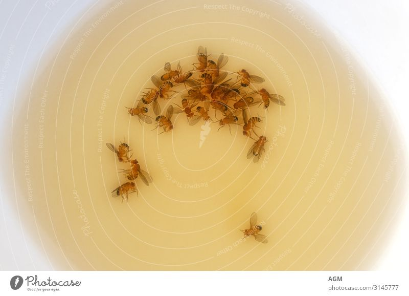 fruit flytrap Summer Nature Dead animal Fly Wing Fruit fly Group of animals Bowl Fluid Brown Yellow Insect Bait Biological Pests Drown Eco-friendly Trap Vinegar