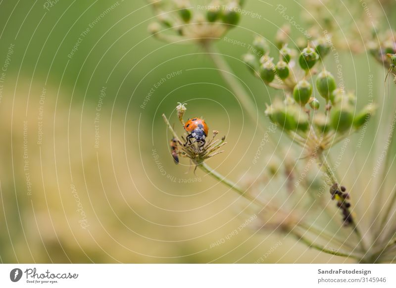 A little ladybug on a plant Summer Garden Nature Plant Park Meadow Field Forest Animal Beetle 1 Sit Small insect green red Planning grass Bow ladybird nobody