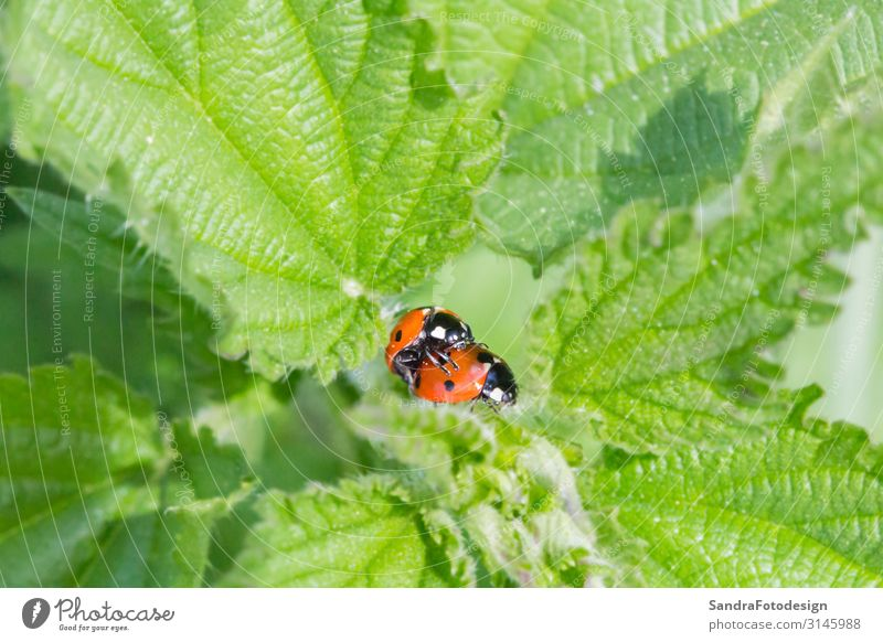 Two little ladybugs on a plant Summer Garden Nature Plant Park Meadow Forest Animal Beetle 2 Pair of animals Sit insect green red Planning grass Bow ladybird