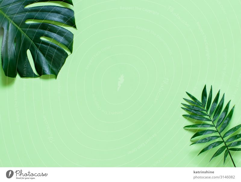 Background withMonstera leaves on a light green background Design Exotic Vacation & Travel Summer Beach Plant Leaf Virgin forest Bright Hip & trendy Modern