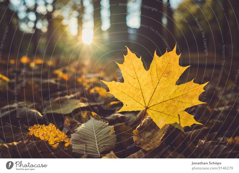 yellow maple leaf on the forest floor Calm Nature Autumn Leaf Forest Yellow Attentive Transience Evening sun Chemnitz Seasons October Autumnal Orange Maple tree